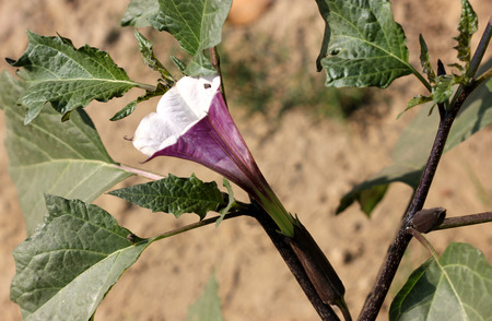 funnel shaped: Datura metel, Devils trumpet, shrub like annual herb with glabrous red stem, alternate leaves and funnel shaped flowers, often red outside, capsule with bumps