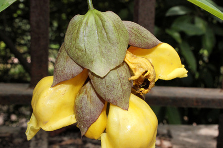 drooping: Gmellina philippensis, Parrots beak, scandent shrub with elliptic leaves and yellow flowers in drooping cymes with foliaceous bracts, corolla inflated in upper part