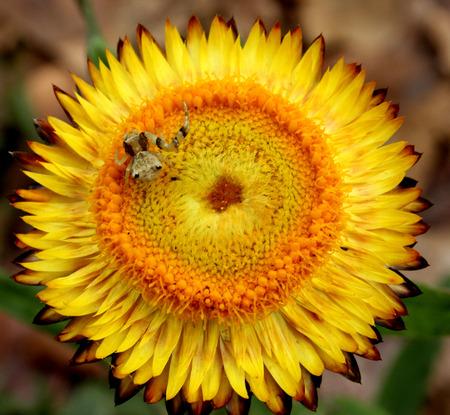 적합: bracteatum Xerochrysum, 꽃 장식에 적합한 용지 데이지 비, Strawflower, 이전 Helichrysum의 bracteatum, 황금 또는 흰색 flowerheads 같은 종이 장식 허브, 스톡 콘텐츠