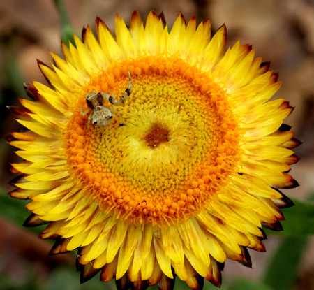 golden daisy: Xerochrysum bracteatum, Paper daisy, Strawflower, formerly Helichrysum bracteatum, ornamental herb with paper like golden or white flowerheads, suitable for floral decorations Stock Photo
