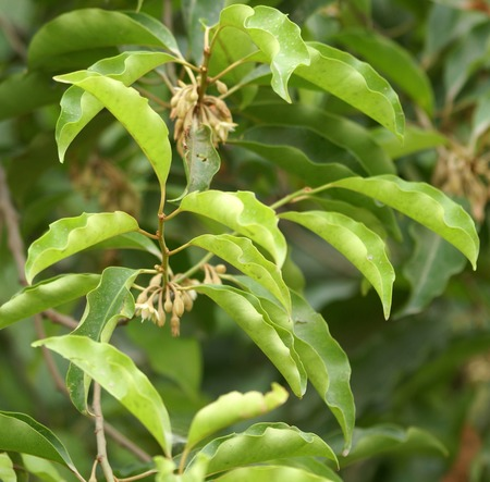 edible leaves: Mimusops elengi, Spanish cherry, Medlar, Bullet wood, Maulsari in Hindi, Evergreen tree, glossy oval leaves, creamish scented flowers and oval orange edible fruits. Bark, flowers, fruits and seeds used in medicine