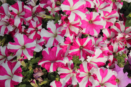alternating: Petunia hybrida Henrietta, cultivar with beautiful red to pinkish flowers with 5 alternating stripes radiating from center