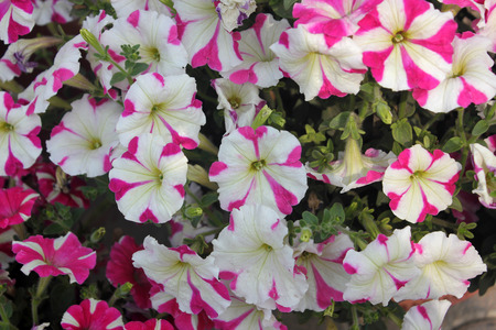 pinkish: Petunia hybrida Henrietta, cultivar with beautiful red to pinkish flowers with 5 alternating stripes radiating from center