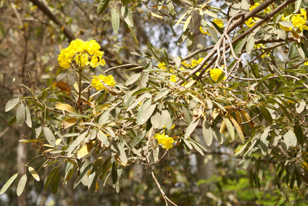 palmate: Tabebuia area,  Caribbean trumpet tree, Tree of gold, deciduous tree with palmate compound leaves and yellow flowers in panicle