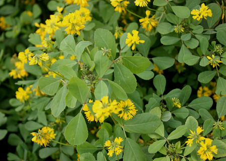 corniculata: Trigonella corniculata, Sickle-fruit fenugreek, kasuri methi in India, cultivated herb with trifoliate leaves, yellow flowers in clusters and sickle-shaped curved pod, dried leaves used as spice and seasoning. Stock Photo