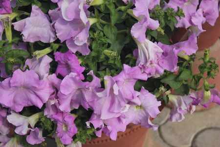 suitable: Petunia hybrida, cultivated ornamental herb with broad ovate green leaves and funnel shaped flowers in different colours, suitable for pots and flower beds Stock Photo