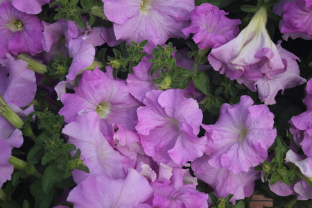 funnel shaped: Petunia hybrida, cultivated ornamental herb with broad ovate green leaves and funnel shaped flowers in different colours, suitable for pots and flower beds Stock Photo