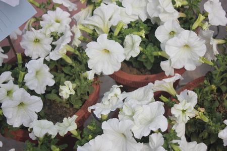 적합: 피튜니아, 넓은 난형 녹색 나뭇잎과 다른 색상 깔때기 모양의 꽃 재배 장식 허브, 화분 및 화단에 적합