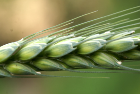 apical: Triticum aestivum, wheat plant, family Poaceae, important grain crop with linear sheathing leaves and green spikelets forming an apical spike, used in the form of flour to make chapaties and breads