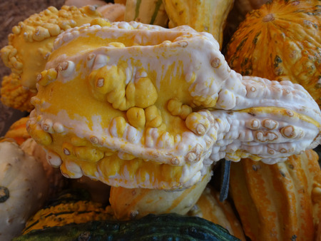 warts: Cucurbita pepo, Warty Autumn Wings, family Cucurbitaceae, ornamental gourd in various colours with sharp angles appearing like wings, with prominent warts, suitable for decoratons Stock Photo