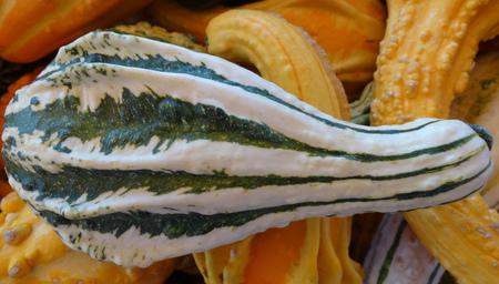 적합: 호박 속을 pepo, decoratons에 적합한 가을 날개, 가족 박과 날카로운 각이 날개처럼 나타나는 다양한 색상으로 장식 조롱박, 스톡 콘텐츠