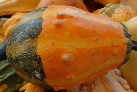 warts: Cucurbita pepo, Bicolor Warty gourd, family Cucurbitaceae, ornamental gourd in various colours with warts on surface, suitable for decoratons