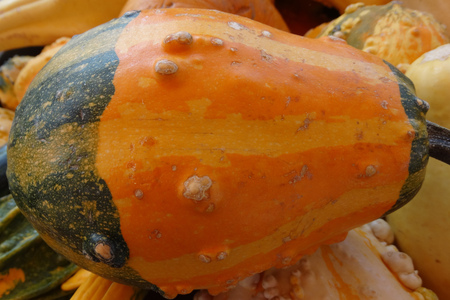 cucurbitaceae: Cucurbita pepo, Bicolor Warty gourd, family Cucurbitaceae, ornamental gourd in various colours with warts on surface, suitable for decoratons