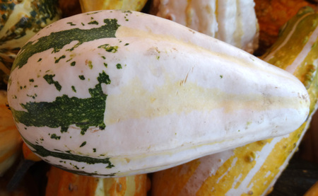 Cucurbita pepo, Bicolor pear gourd, family Cucurbitaceae, ornamental gourd in various colours, pear shaped, white with broad green stripes in lower part, faint orange in upper part Stock Photo
