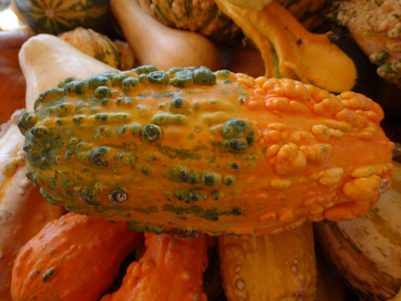 cucurbitaceae: Cucurbita pepo, Warty gourd, family Cucurbitaceae, ornamental gourd in various colours with warts on surface, suitable for decoratons