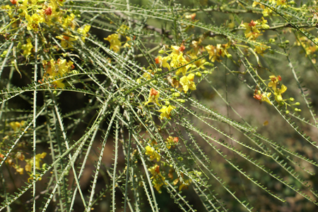 flattened: Parkinsonia aculeata, Palo verde, throny small tree with pinnate compound leaf with flattened rachis and minute leaflets, yellow flowers in panicles and pod fruit
