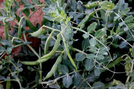 Pisum sativum pea cultivated herb with pinnate leaves with pisum sativum pea cultivated herb with pinnate leaves with terminal tendrils white flowers mightylinksfo