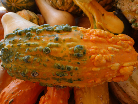 warts: Cucurbita pepo, Warty gourd, family Cucurbitaceae, ornamental gourd in various colours with warts on surface, suitable for decoratons