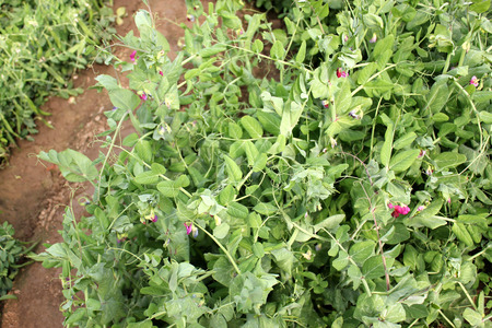 edible leaves: Sugar pea, Pisum sativum, cultivated herb with pinnate leaves with terminal tendrils, red flowers and pods producing edible, slightly sweet seeds, used as vegetable.