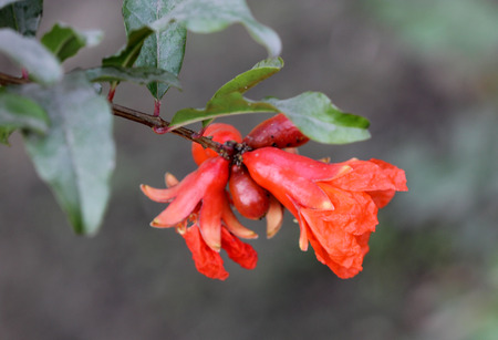 fleshy: Punica granatum, Pomegranate, popular fruit borne on a deciduous shrub or small tree with red flowers, fruit a hesperidium with fleshy seeds consumed fresh or spice and seasoning when dried Stock Photo