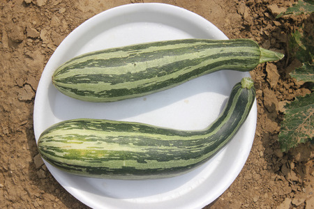 developed: Cucubita pepo, PUSA Alankar summer squash hybrid developed by Indian Agricultural Research Institute, cultivar with dark green fruits with light green stripes, 25-30 cm long, vegetable crop Stock Photo