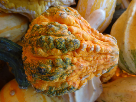 cucurbitaceae: Cucurbita pepo, Warty pear gourd, family Cucurbitaceae, ornamental gourd in various colours with warts on surface, dark green stripes in basal part, suitable for decorations Stock Photo