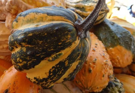 warts: Cucurbita pepo, Warty ribbed pear gourd, family Cucurbitaceae, ornamental gourd in various colours with warts on surface, dark green stripes on prominent ribs, suitable for decorations
