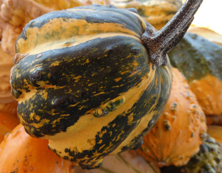 cucurbitaceae: Cucurbita pepo, Warty ribbed pear gourd, family Cucurbitaceae, ornamental gourd in various colours with warts on surface, dark green stripes on prominent ribs, suitable for decorations