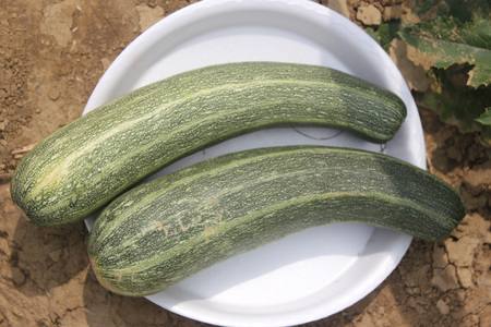 cylindrical: Cucurbita pepo, Australian Green summer squash, cultivar with cylindrical fruits narrowed upwards, dark green with light green narrow stripes and dots, cooked vegetable
