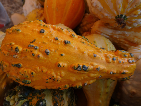 cucurbitaceae: Cucurbita pepo, Warty long neck gourd, family Cucurbitaceae, ornamental gourd in various colours with warts on surface and long neck, suitable for decorations Stock Photo