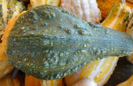 warts: Cucurbita pepo, Warty long neck gourd, family Cucurbitaceae, ornamental gourd in various colours with warts on surface and long neck, suitable for decorations Stock Photo