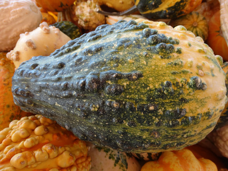 cucurbitaceae: Cucurbita pepo, Warty pear gourd, family Cucurbitaceae, ornamental gourd in various colours with warts on surface, suitable for decorations