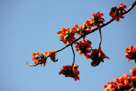 five petals: Bombax ceiba, Red silk-cotton tree, deciduous tree with large red flowers appearing before leaves, have five petals and numerous stamens, palmate compound leaves and dry capsule fruit with numerous hairy seeds