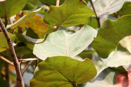 edible leaves: Coccoloba uvifera, Seagrape, Baygrape, ornamental tree with rounded slightly cordate leaves and small green edible fruits in grape-like clusters, grows naturally along beaches in Tropical America