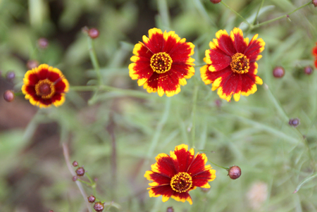 margins: Coreopsis tinctoria Highland Blast, Highland Blast tickseed, cultivated annual herb with finely cut leaves with linear segments and scarlet flower heads with golden yellow margins