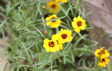 tickseed: Coreopsis tinctoria, Plains coreopsis, Golden tickseed, cultivated annual herb with finely cut leaves with linear segments and golden flower heads with reddish brown center