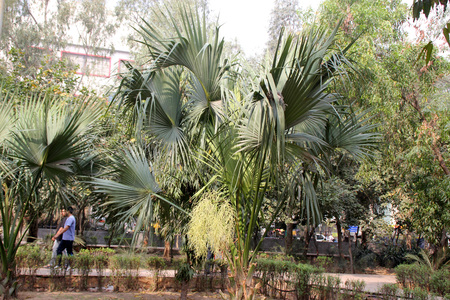 fan shaped: Livistona chinensis, Chinese Fan Palm, tree palm with fan shaped variously split leaves in terminal crown and small cream coloured flowers in large spreading panicle