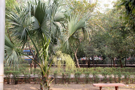 panicle: Livistona chinensis, Chinese Fan Palm, tree palm with fan shaped variously split leaves in terminal crown and small cream coloured flowers in large spreading panicle