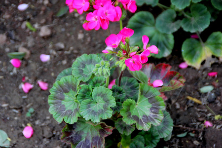 ornamental shrub: Pelargonium zonale, Garden Geranium, family Geraniaceae, small ornamental shrub with rounded cordate leaves with circular reddish purple patch and pink flowers in a cluster, often grown in pots