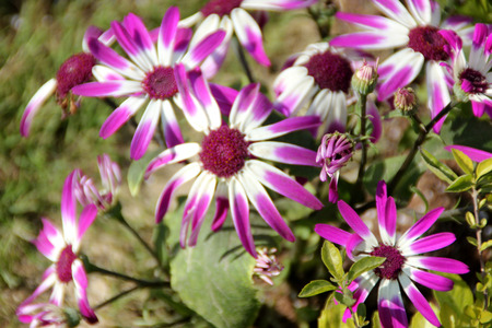 nearly: Pericallis hybrida, formerly Cineraria cruenta, Cineraria, ornamental herb from family Asteraceae (Compositae), with large nearly rounded leaves on long winged petiole and radiate flower heads in terminal racemes, 3-4 cm across, ray florets oblong purple
