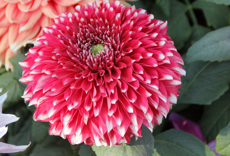 tuberous: Dahlia hybrida Giant Frost Nip, tuberous rooted tall herb with large pinnate leaves and terminal flower heads with pink rays with white tip