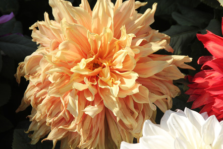 rooted: Dahlia hybrida Giant peach, tuberous rooted tall herb with large pinnate leaves and terminal flower heads with peach rays