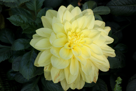 tuberous: Dahlia hybrida yellow, tuberous rooted tall herb with large pinnate leaves and terminal flower heads with yellow ray