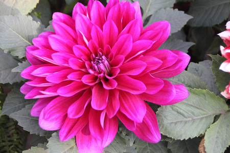 tuberous: Dahlia hybrida Pink, tuberous rooted tall herb with large pinnate leaves and terminal flower heads with pink ray