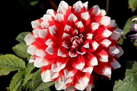 tuberous: Dahlia hybrida Skipley Spot, tuberous rooted tall herb with large pinnate leaves and terminal flower heads with red rays with white tips Stock Photo