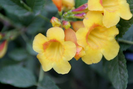 leaflets: Tecoma stans, yellow trumpetbush, yellow bells, evergreen shrub with pinnate compound leaves with 5 to 9 leaflets and yellow trumpet shaped flowers in clusters Stock Photo