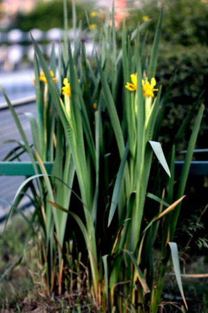 lacking: Iris crocea, Golden Iris, Golden Flag, rhizomatous tall perennial herb with linear leaves and golden yellow flowers with wavy standard and crinkled edges of falls, lacking any beard