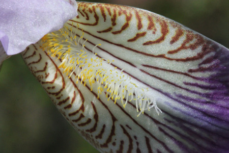 perianth: Iris germanica, German Iris, rhizomatic perennial herb with sword shaped leaves and bearded outer whorl perianth, in variety of colours and marking