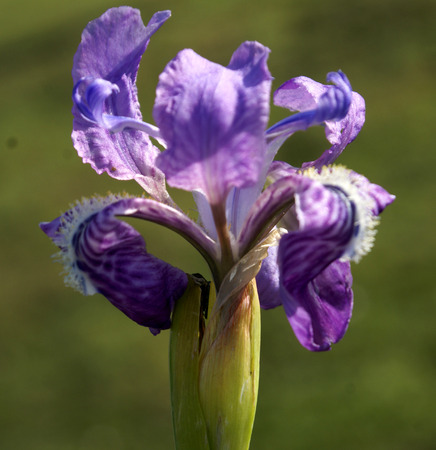 mottling: Iris hookeriana, Hookers Iris, rhizomatous perennial herb of alpine Himalayas with linear leaves, bluish purple flowers with white mottling and yellow tipped beard, borne on up to 15 cm long peduncle and up to 2 cm long perianth tube Stock Photo