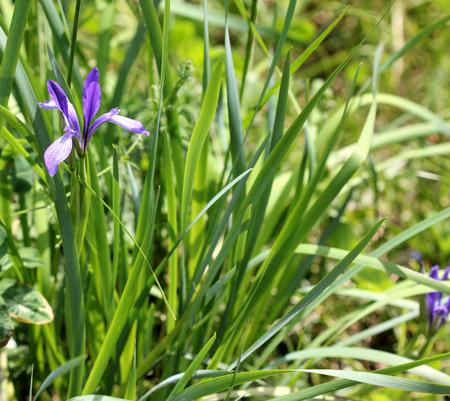 striated: Iris lactea, wild iris, rhizomatous perennial herb with linear leaves and white beardless flowers with blue striated falls,